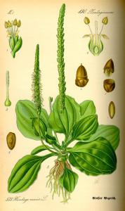 """Breitwegerich (Tafel aus """"Flora von Deutschland, Österreich und der Schweiz""""; 1885; O.W.Thomé; Quelle: BioLib.de)"""