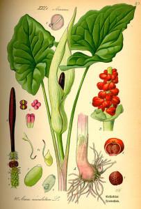 """Gefleckter Aronstab (Tafel aus: """"Flora von Deutschland, Österreich und der Schweiz""""; 1885; O.W.Thomé; Quelle: BioLib.de)"""
