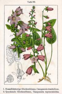 """Acker-Glockenblume (Abb.2), Nesselblättrige Glockenblume (Tafel aus: """"Deutschlands Flora in Abbildungen""""; 1796; J.G.Sturm; Quelle: BioLib.de)"""