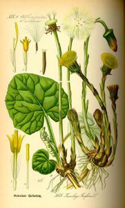 """Huflattich (Tafel aus:""""Flora von Deutschland, Österreich und der Schweiz""""; 1885; O.W.Thomé; Quelle: BioLib.de)"""