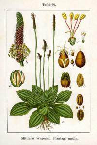 """Mittlerer Wegerich (Tafel aus: """"Deutschlands Flora in Abbildungen; 1796; J.Sturm; Quelle: BioLib.de)"""