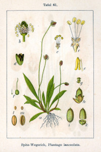 """Spitzwegerich (Tafel aus: """"Deutschlands Flora in Abbildungen; 1796; J.Sturm; Quelle: BioLib.de)"""
