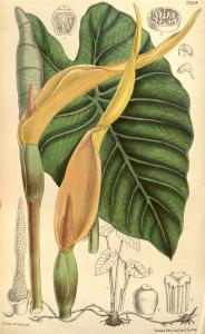 "Taro (Colocasia esculenta) (Tafel aus: ""Curtis's Botanical Magazine""; 1894; Quelle: Wikimedia)"