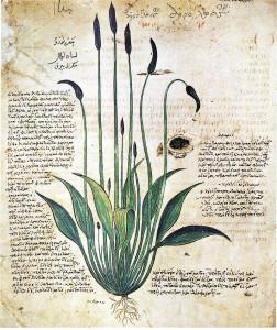 """Wegerich (Arnoglossa) (Tafel aus dem """"Wiener Dioskourides""""; um 500; Quelle: Wikipedia)"""