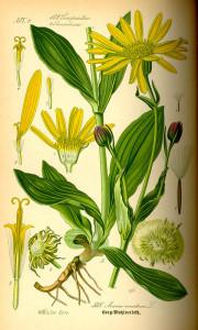 """Arnika (Tafel aus: """"Flora von Deutschland, Österreich und der Schweiz""""; 1885; O.W.Thomé; Quelle: BioLib.de)"""