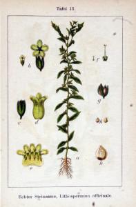 """Echter Steinsame (Tafel aus: """"Deutschlands Flora in Abbildungen""""; 1796; J.G.Sturm: Quelle: BioLib.de)"""