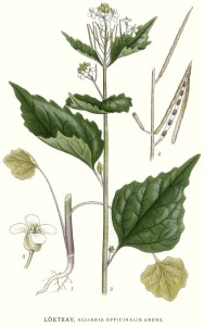 "Knoblausrauke (Tafel aus: ""Bilder ur Nordens Flora""; um 1920; C.A.M.Lindman; Quelle: Wikipedia.de)"