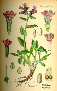 """Lungenkraut (Tafel aus: """"Flora von Deutschland, Österreich und der Schweiz""""; 1885; O.W.Thomé; Quelle: BioLib.de)"""