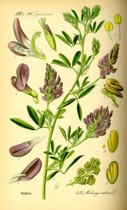 """Luzerne (Tafel aus """"Flora von Deutschland, Österreich und der Schweiz""""; 1885; O.W.Thomé; Quelle: BioLib.de)"""