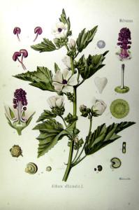 """Echter Eibisch (Tafel aus: """"Köhler's Medizinal-Pflanzen in naturgetreuen Abbildungen""""; 1887; F.E.Köhler; Quelle: BioLib.de)"""