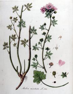 "Moschus-Malve (Tafel aus ""Flora Batava, X Deel""; 1849; J.Kops; Quelle: BioLib.de)"