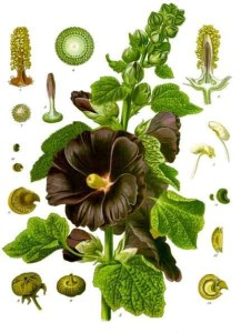 "Stockrose (Tafel aus ""Köhler's Medizinal-Pflanzen""; 1897; F.E.Köhler; Quelle: Wikipedia)"
