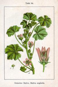 """Weg-Malve (Tafel aus """"Deutschlands Flora in Abbildungen""""; 1796; J.G.Sturm; Quelle: BioLib.de)"""