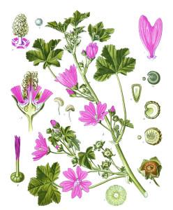 "Wilde Malve (Tafel aus ""Köhler's Medizinal-Pflanzen""; 1897; F.E.Köhler; Quelle: Wikipedia)"
