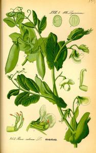 """Erbse (Tafel aus """"Flora von Deutschland, Österreich und der Schweiz""""; 1885; O.W.Thomé; Quelle: BioLib.de)"""