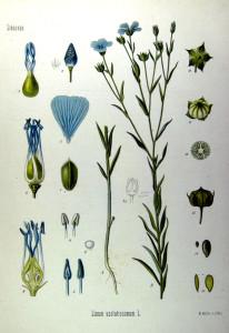 Flachs (Tafel aus: Köhler's Medizinal-Pflanzen Bd.1; 1887; Quelle: BioLib.de)