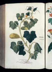 """Gurke (Tafel aus: """"New Kreuterbuch""""; L. Fuchs; 1543; Quelle: Waimann.de)"""
