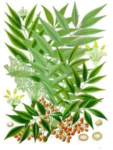Gewürz-Sumach (Tafel aus: Köhler's Medizinalpflanzen; 1887: Quelle: es.wikipedia.org)
