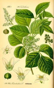 Gift-Sumach (Tafel aus: Flora von Deutschland, Österreich und der Schweiz; 1885; O.W.Thomé; Quelle: BioLib.de)