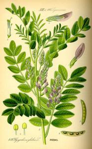 """Süßholz (Tafel aus: """"Flora von Deutschland, Österreich und der Schweiz""""; 1885; O.W.Thomé; Quelle: BioLib.de)"""