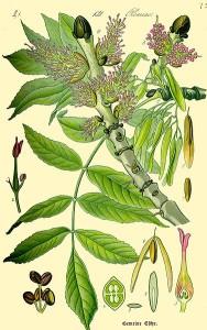 """Esche (Tafel aus: """"Flora von Deutschland, Österreich und der Schweiz""""; 1885; O.W.Thomé; Quelle: BioLib.de)"""
