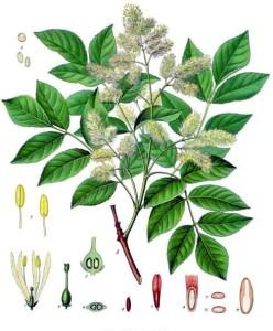 Manna-Esche (Tafel aus: Köhlers Medizinal-Pflanzen; 1897; F.E.Köhler; Quelle: Wikipedia.de)