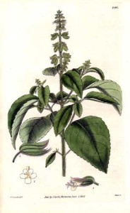 Basilikum (Tafel von R.K. Greville; 1830; in Curtis's botanical magazine) Quelle: wikimedia